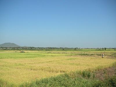 広々と広がるカンボジアの水田。コメの増産ポテンシャルは高い。