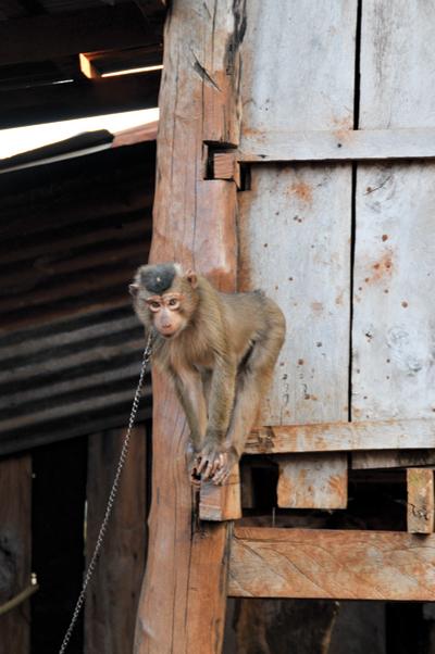 ジャライ族には捕獲した猿や野鳥などを、ペットとして飼っている人もいる