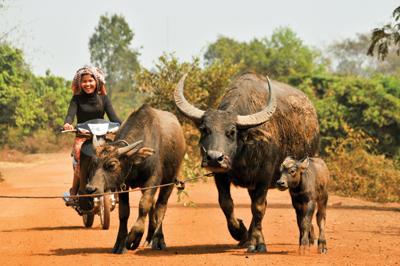 水牛は農業や儀式など、様々な用途に使われる